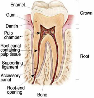 Root Canal Therapy - Santa Maria